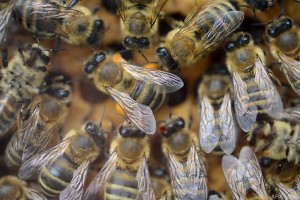 Wanderer in Arizona starb nach Attacke eines Bienenschwarms