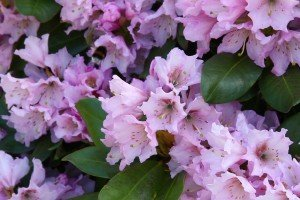 Der Rhododendron im VOL.AT-Gartentipp