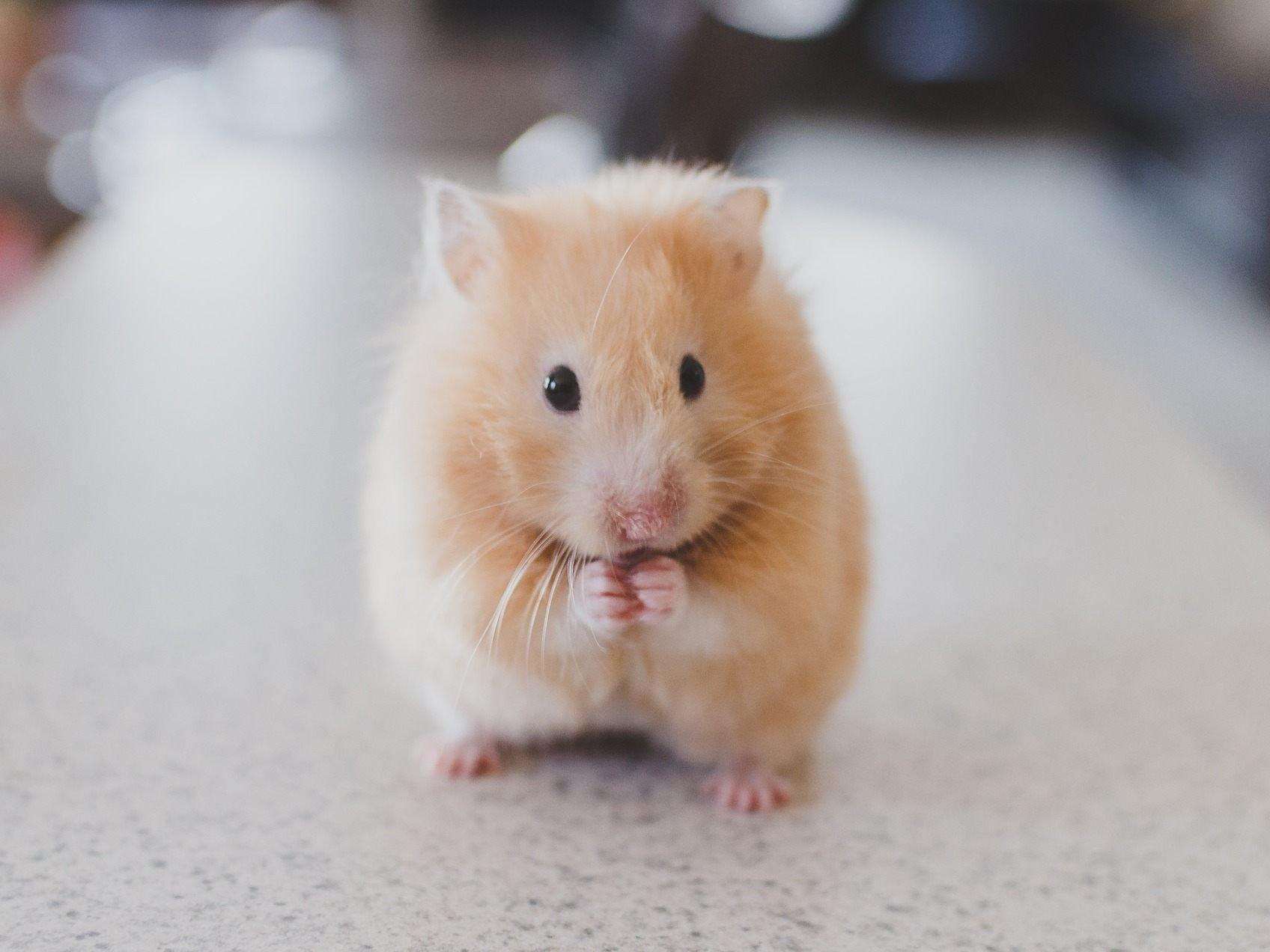 Hamster Fuss Abgetrennt 25 Jahriger Am Praterstern In Wien Verhaftet Vienna Online