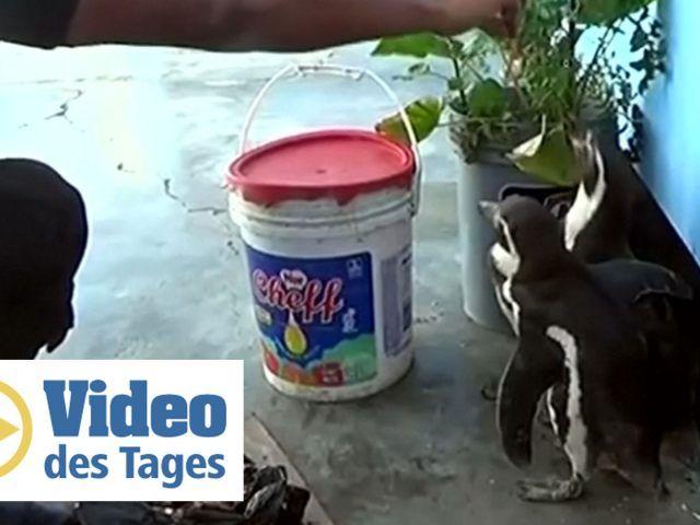 Pinguin partnersuche