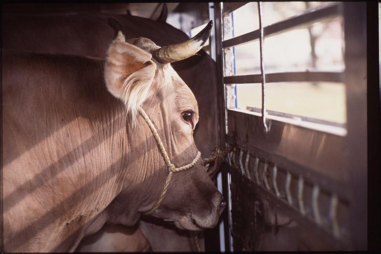 Vorarlberg: Tierärzte wollten keine Kälbertransporte mehr abfertigen