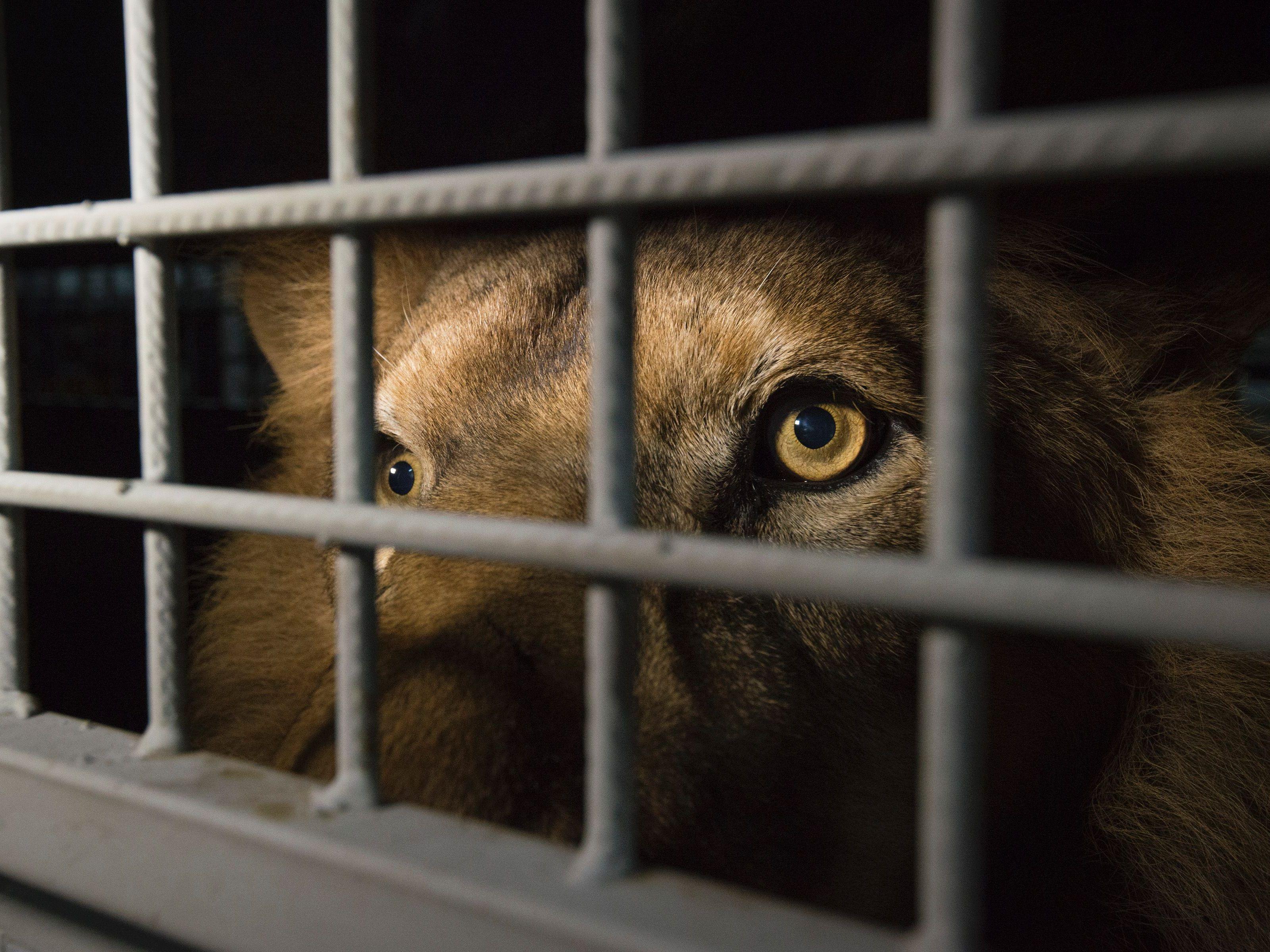 Zirkus-Löwin biss vierjährigem Mädchen ins Gesicht