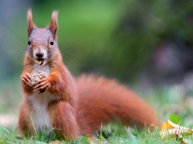 Creutzfeldt-Jakob-Krankheit: Mann stirbt offenbar nach Eichhörnchen-Verzehr