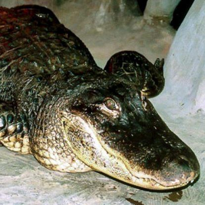 "Alligator ""Saturn"""
