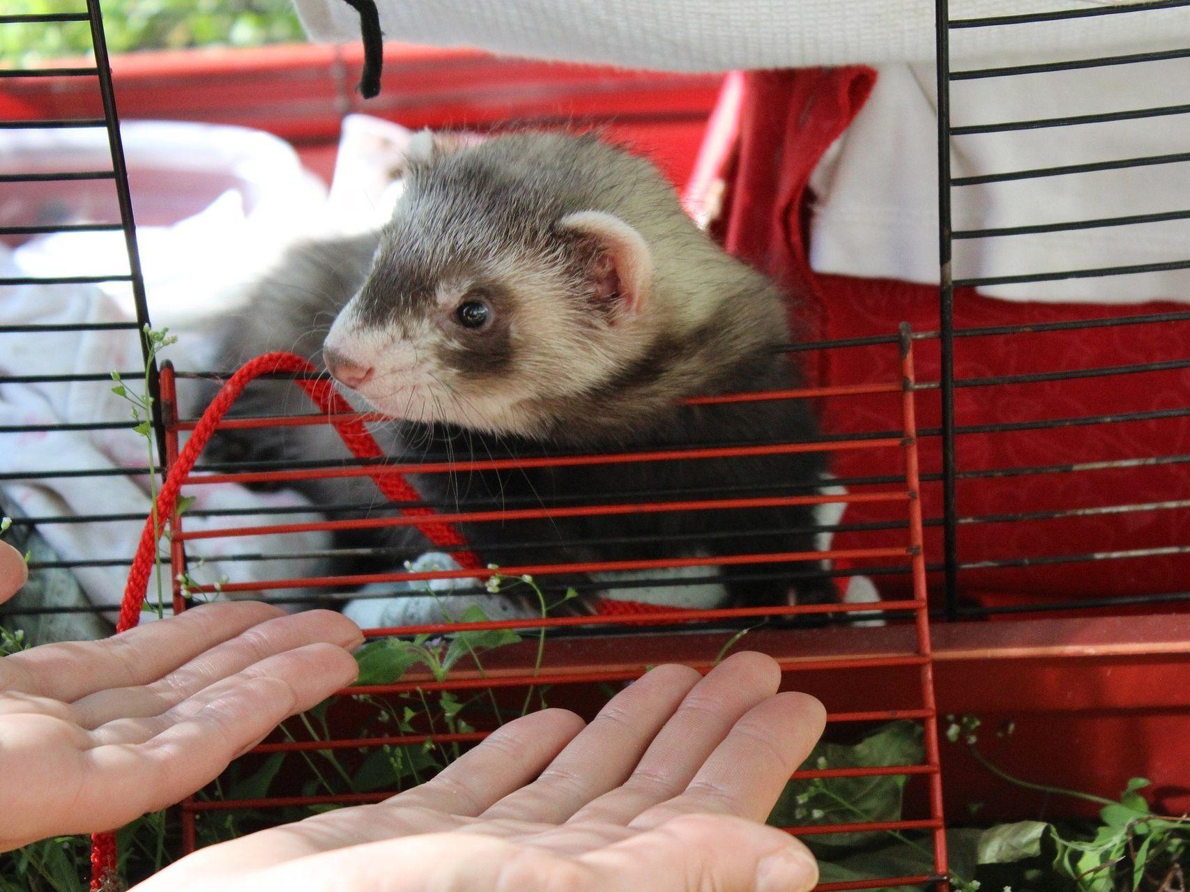 Frettchen Als Haustiere Bei Wienern Beliebt Aber Nicht Pflegeleicht Tiere National Vienna At