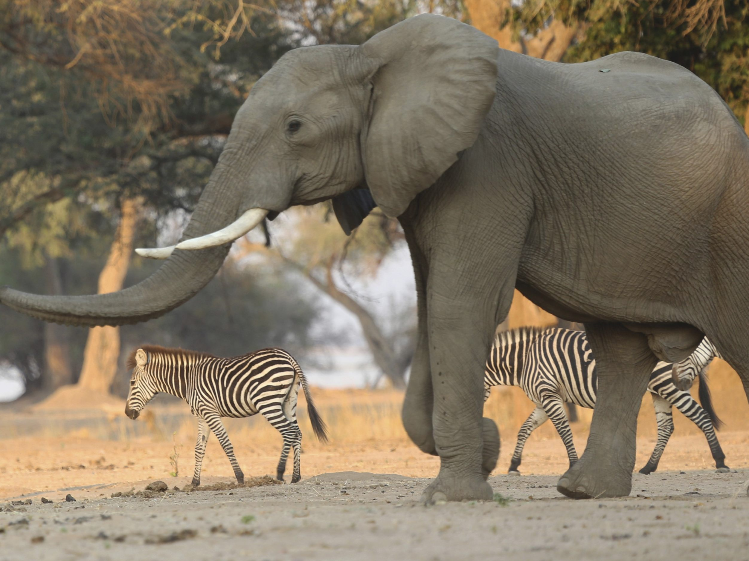 Hunderte Elefanten in Botswana verendet