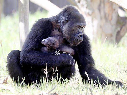 USA: Coronavirus bei Gorillas im Zoo von San Diego festgestellt