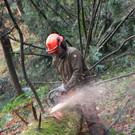 Brennholzgewinnung mit der Motorsäge wird gezeigt. - Brennholzgewinnung mit der Motorsäge wird gezeigt.