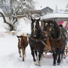 Die Pferde gehen allmählich zur Gangart